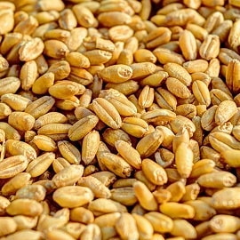 Польза и вред пророщенных зерен пшеницы